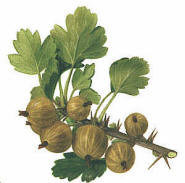 Painting of Gooseberry
